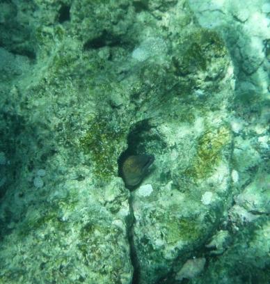 Mooray Eel 2