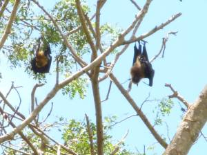 Flying Foxes 2