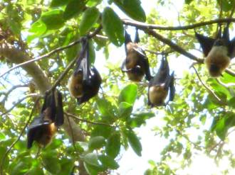 Flying Foxes 1