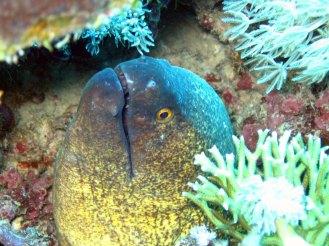 Mooray Eel 1
